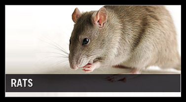 rodent Control Orange County, Temecula, Murrieta, Corona