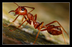 Black and Red Harvester Ant